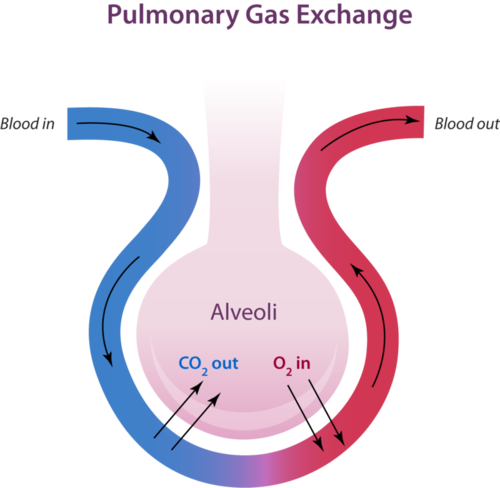 respiratory system and tiny air sacs Respiration is the process by which  describes the process of inhaling and exhaling air the human respiratory system  tiny air-filled sacs in the lungs.