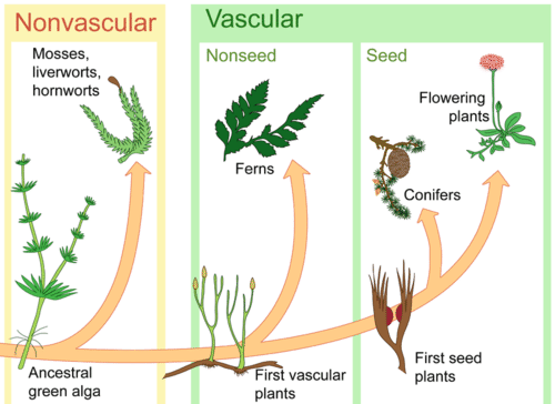 Diagram of plant evolution