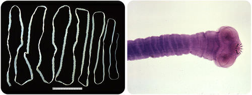 Tapeworms are parasitic flatworms that live in the intestines of their hosts