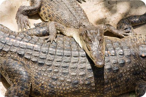 Crocodile scales