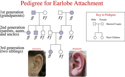 Pedigree for earlobe attachment