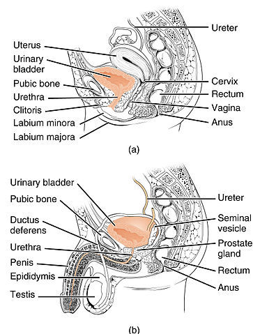 Ureters, Urinary Bladder, and Urethra   CK-12 Foundation