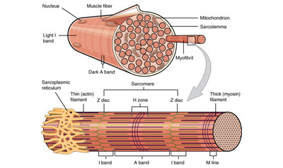 Smooth, Skeletal, and Cardiac Muscles