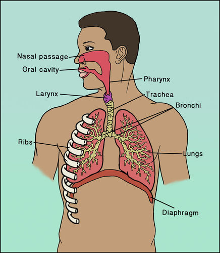 The respiratory system ck 12 foundation structures of the respiratory system ccuart Choice Image