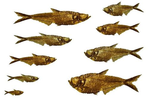 Fossilized fish shown in different sizes