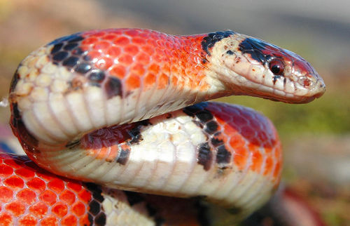 A close-up of scales on a scarlet kingsnake