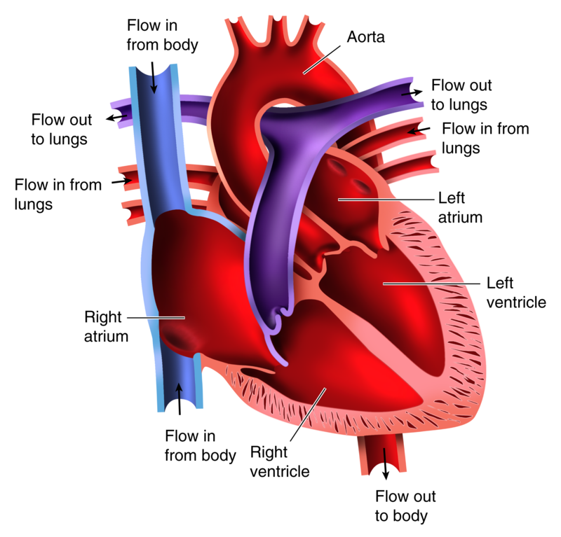 The heart ck 12 foundation figure 219 here are the two pumps in the human heart separated the arrows show the directions of blood flow ccuart Choice Image