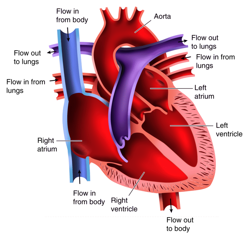 The Heart – Blood Flow Through the Heart Worksheet