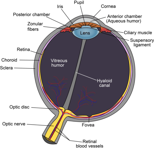 The human eye is a complex structure that focuses and sense light