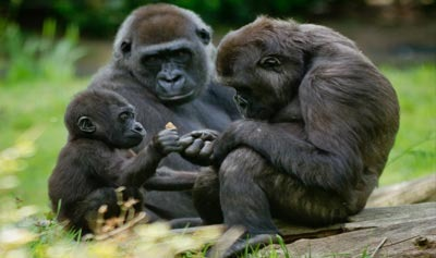 Silverback Gorilla and Family