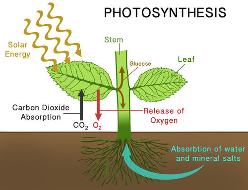 photosythesis diagram Here are there reasons why you should care about photosynthesis food: the food we eat comes to us from photosynthesis, either directly (if we eat a plant) or indirectly (if we eat an animal that eats a plant) carbon fixation: photosynthesis takes a gas, carbon dioxide, and makes it into a solid, carbohydrate this is called carbon fixationsince we are what we eat, that means that the atoms.