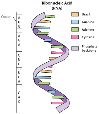 How to read the genetic code using codons