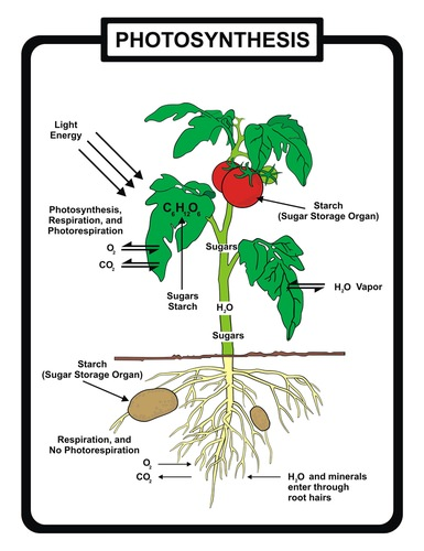The Photosynthesis Reaction - Advanced | CK-12 Foundation
