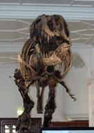Fossil of a Tyrannosaurus Rex