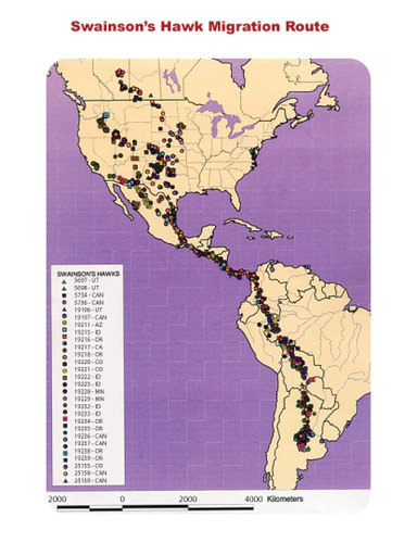 Swainson's hawks migration pattern