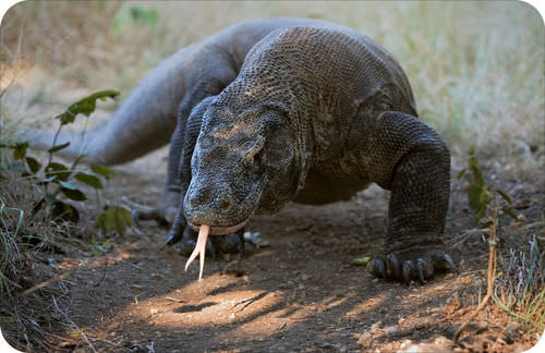 Picture of a Komodo dragon, the largest of the lizards