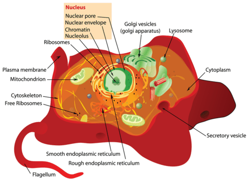 Organelles of a eukaryotic cell