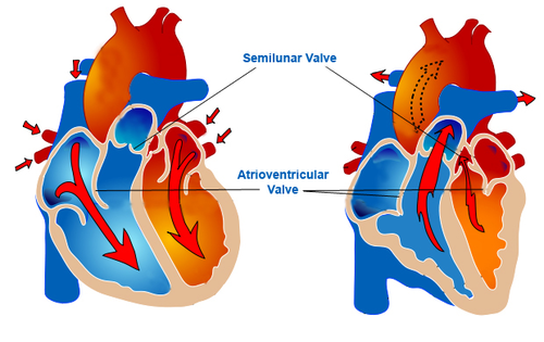 Blood flows from atria to ventricles in the heart