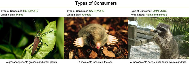Herbivores, carnivores, and omnivores are the three main types of consumers