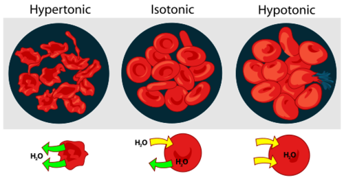 Drawing of blood cells in a hypertonic, isotonic, or hypotonic environment