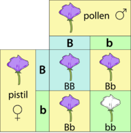 The Punnett square of a cross between two heterozygous purple flowers