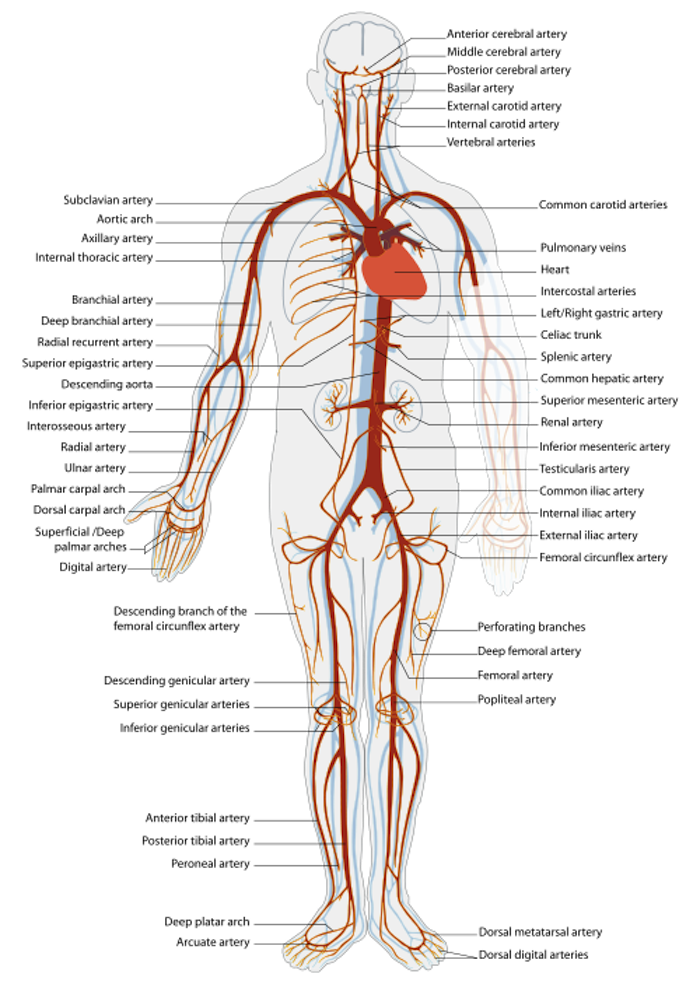 Overview Of The Cardiovascular System Ck 12 Foundation