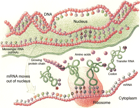 Shows the three types of RNA: mRNA, tRNA, and rRNA