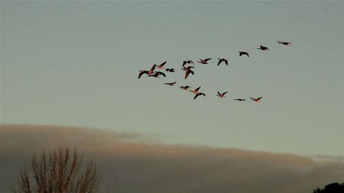 These geese fly in a V-shaped formation while migrating south for the winter
