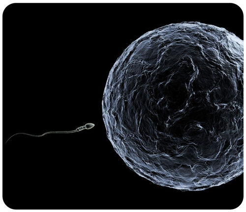 During sexual reproduction, a sperm fertilizes an egg