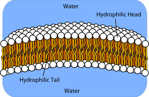Basic structure of a lipid bilayer