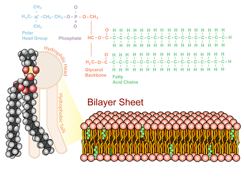 The phospholipid bilayer, the structure of the plasma membrane
