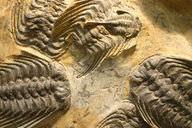 A group of preserved trilobites, a variety of ancient marine arthropods