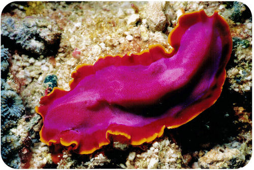 Marine flatworms can be brightly colored