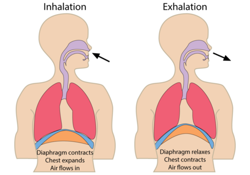 nh-chs-anatomy / Respiratory System Regulation
