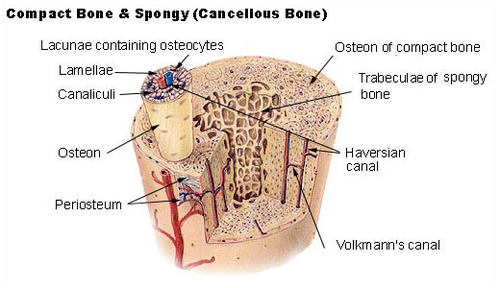 Illustration of bone matrix