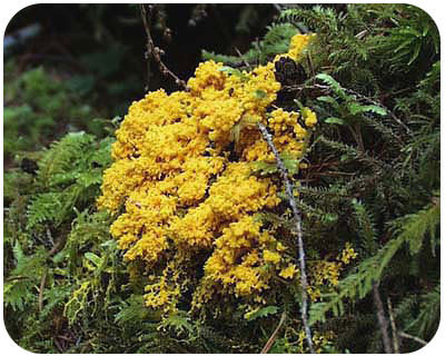 An example of a slime mold