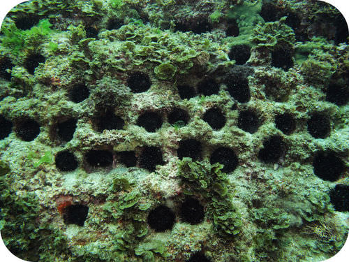 A die-off of the sea urchin in the Caribbean Sea coincided with increases in algal growth