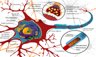 Nerve Cells and Nerve Impulses