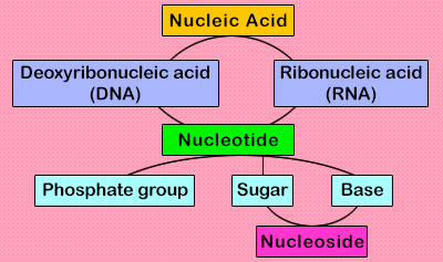 Nucleic Acid Classification Quiz - MS PS