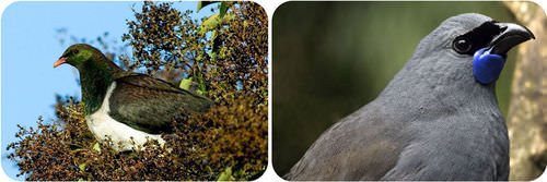 The kereru and kokako are important browser birds in New Zealand