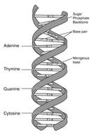 DNA Illustration as a double helix