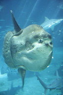 Picture of an ocean sunfish