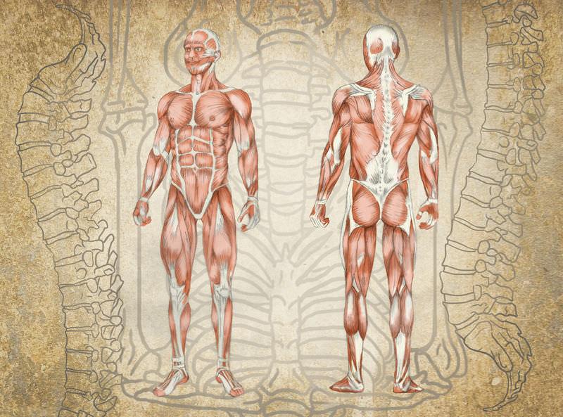 Human Body Read Biology Ck 12 Foundation