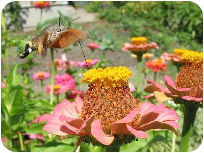 Coevolution of hawk moths and zinnea flowers