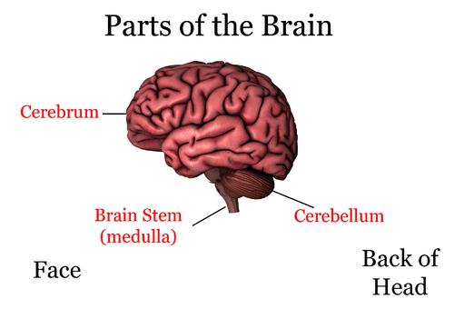 the nervous system ck12 foundation