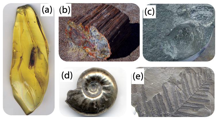 Types of fossils: amber, permineralization, cast and mod, pyritized, compression
