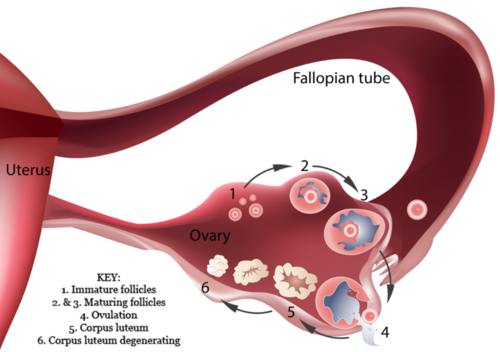 This diagram illustrates how an egg and its follicle develop in an ovary