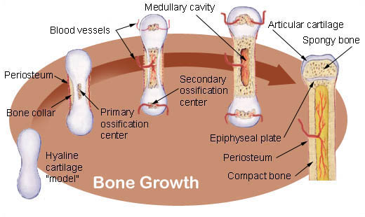 Detailed diagram of a growing bone