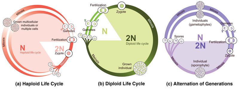 Haploid, diploid, and alternating life cycles