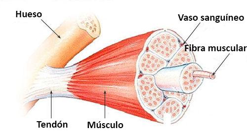 Músculos Esqueléticos Ck 12 Foundation
